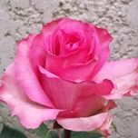Enjoy roses d'Equateur Ethiflora