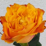 Orange Reeva Roses d'Equateur Ethiflora